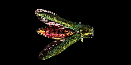 Emerald Ash Borer on black background