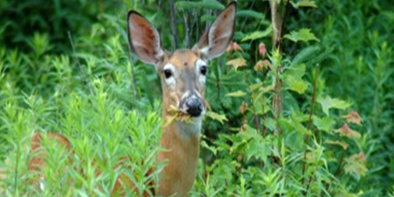 A Deer with leaves in its mouth.