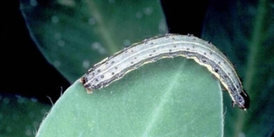 Armyworm size comparison to leaf
