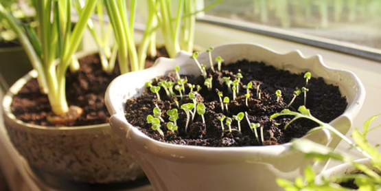 seedlings in a pot - winter sowing -