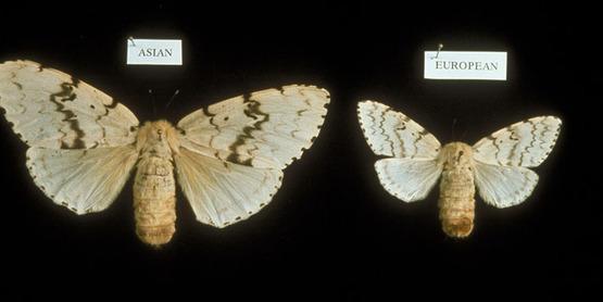 Adult Gypsy moth  Lymantria dispar (Linnaeus) Genus: Lymantria Family: Lymantriidae Order: Lepidoptera Class: Hexapoda (including Insecta)