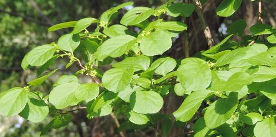 oriental bittersweet (Celastrus orbiculatus) Thunb.