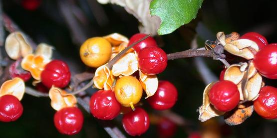 berries of oriental bittersweet (Celastrus orbiculatus) Thunb.