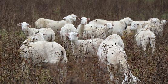 Sheep at The Home at Last Farm