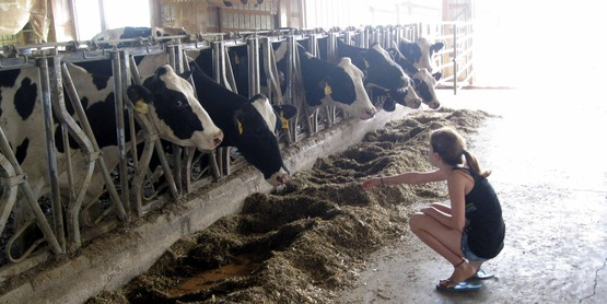 Annie Seichepin with dairy cows at Sweyolaken Farm, Enfield NY at Farm City Day 2010