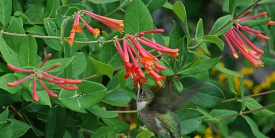 Hummingbird feeding on trumpet honeysuckle.