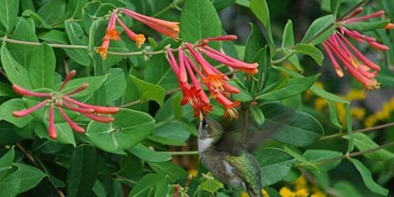 Hummingbird feeding on trumpet honeysuckle.
