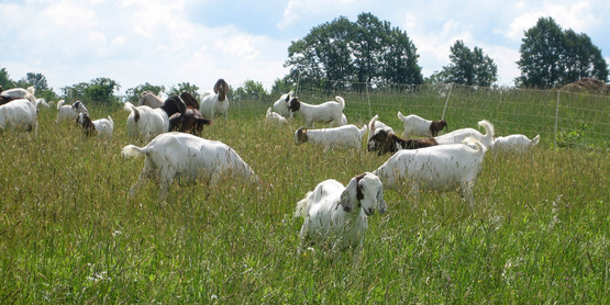 Meat goats in pasture