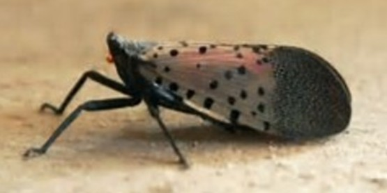 Spotted Lanternfly damages apples, hops, grapes & forest products.