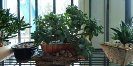 Jade Succulent