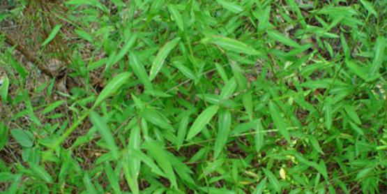 Japanese Stiltgrass plant