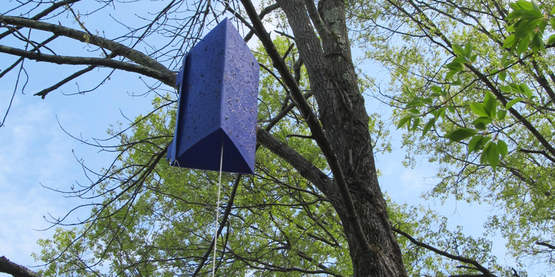 Purple trap for Emerald Ash Borer, photographed in Saugherties, Ulster County, NY