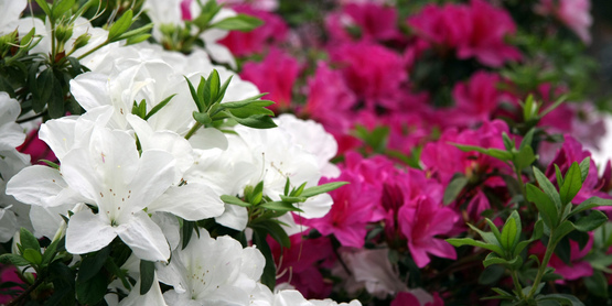 Take care of your azaleas for spectacular blooms every year.