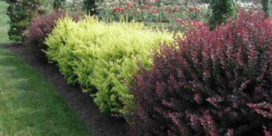Japanese Barberry bushes