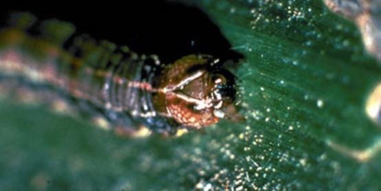 Armyworm close-up