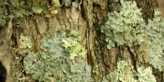 Lichen foliose on trunk of tree.