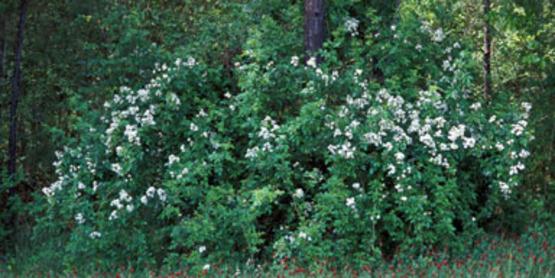 Multiflora Rose bush