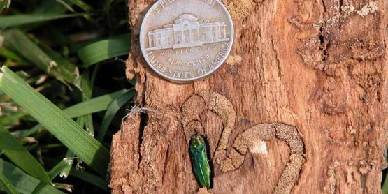 Adult emerald ash borer in tunnel