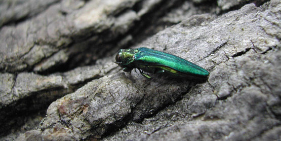 Emerald Ash Borer,  Agrilus planipennis  Pennsylvania Department of Conservation and Natural Resources - Forestry Archive, Bugwood.org