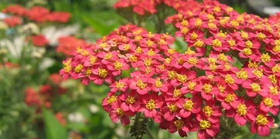 Achillea millefolium 'Paprika' cultivar ; yarrow