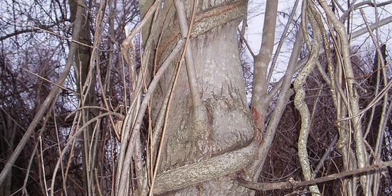 oriental bittersweet (Celastrus orbiculatus) vine on a tree