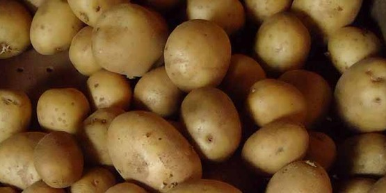 Yellow potatoes on a farm in Gillette, New Jersey
