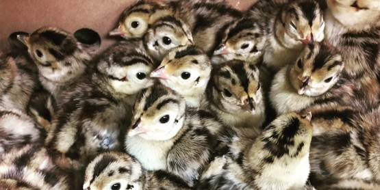 Pheasant chicks 2017