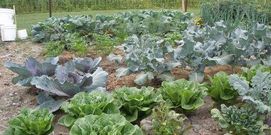 CCE-Schuyler Community Gardens 2009 cabbage, lettuce, celery, onions