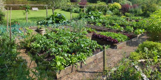 Thriving crops in raised beds. Vegetable garden, Malleny - near to Balerno, Edinburgh, Great Britain