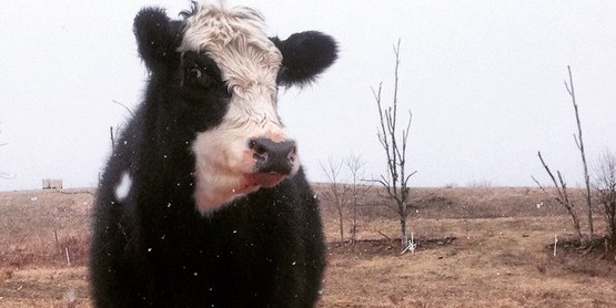 calf with cow winter