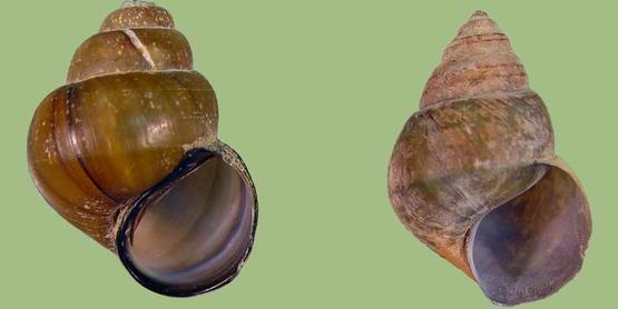 Chinese mysterysnail  Bellamya chinensis