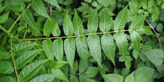 Tree of Heaven foliage