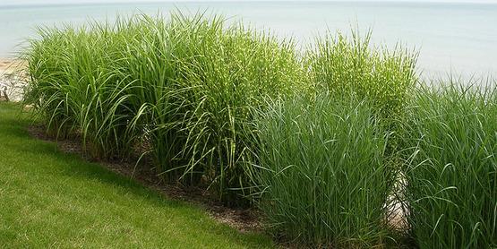 ornamental grasses by the shore