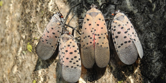 four Spotted Lanternflies on tree bark