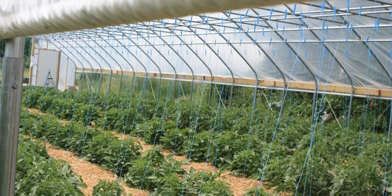 tunnel tomatoes