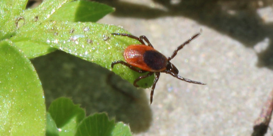 Questing adult female BLT / blacklegged tick adult on leaf with front legs extended