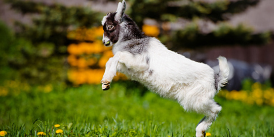 baby goat jumping in excitement