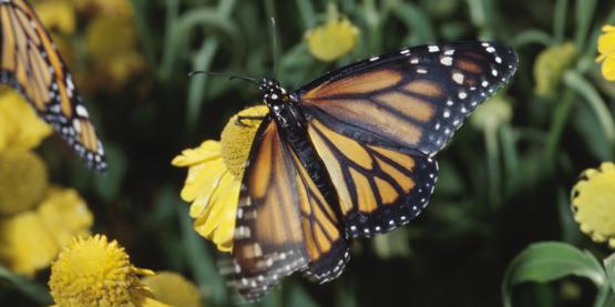 Monarch on flower pollinator friendly garden