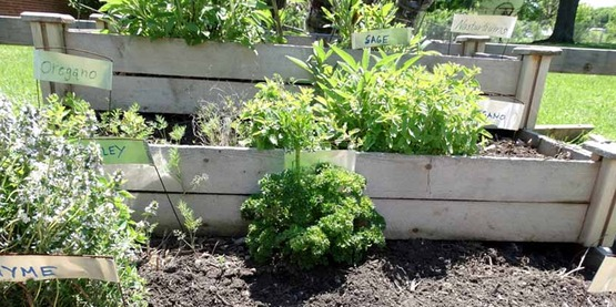 herbs growing in a raised bed, from the CCE-Niagara Facebook page