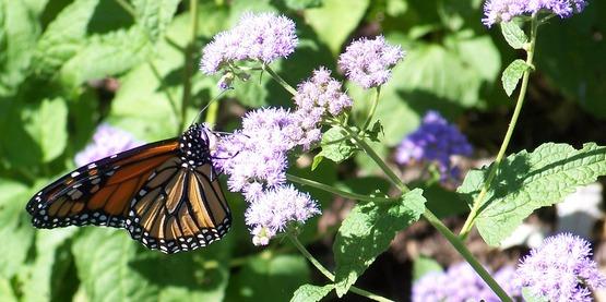 Monarch on Blue Mist Flower