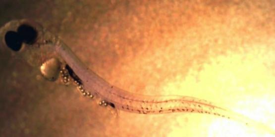 Microplastics in perch larva
