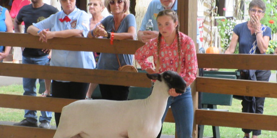 a sheep being shown.