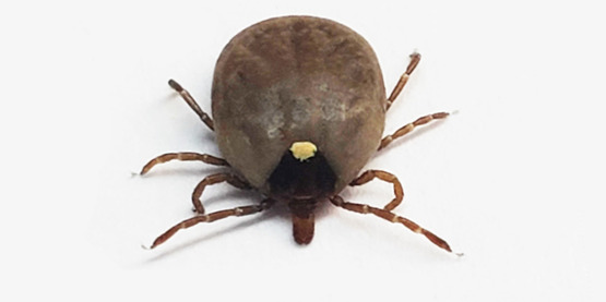 engorged lone star tick adult