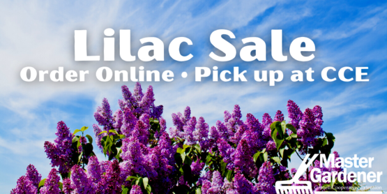 Lilac Sale