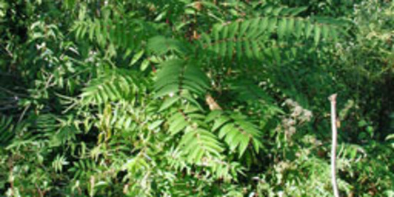 Tree of Heaven plant