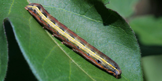 Armyworm compared to a leaf