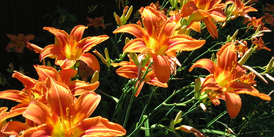 wild day lilies