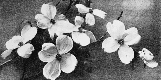 Flowering Dogwood, 1903