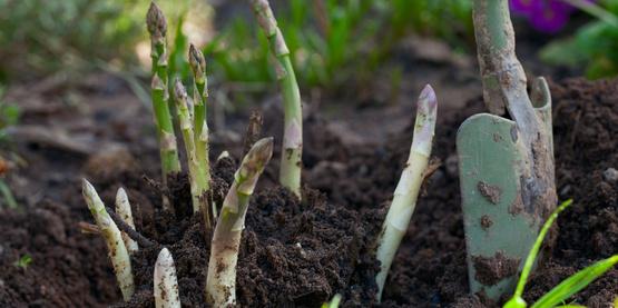 Growing asparagus in a garden