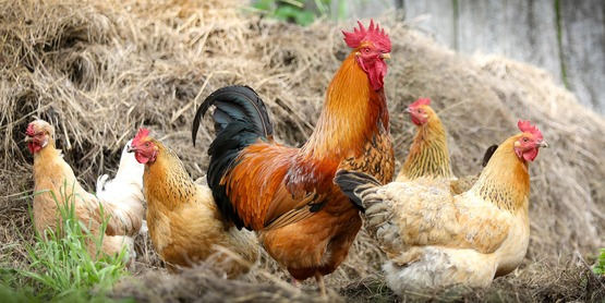 Amy Barkley (SWNYDLFC Team) and Jason Detzel (CCE Ulster) discuss why keeping roosters may not be right for everyone, and why purchasing of straight run chicks should be carefully considered.